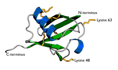 the structure of the Ubiquitin protein